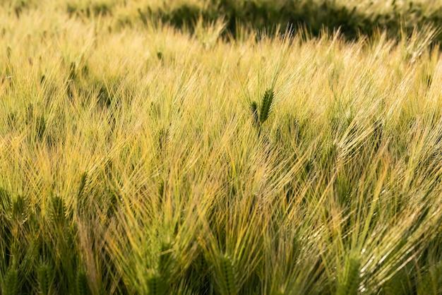 Młoda roślina pszenicy wyróżniająca się spośród innych. niesamowite pole oświetlone światłem słonecznym tworzącym niesamowitą fakturę.