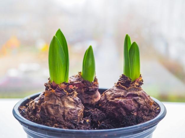 Młoda roślina w rękach. sadzenie bulwiastych roślin, tulipanów, hiacyntów.