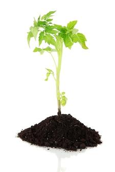 Młoda roślina w ziemi na białym tle