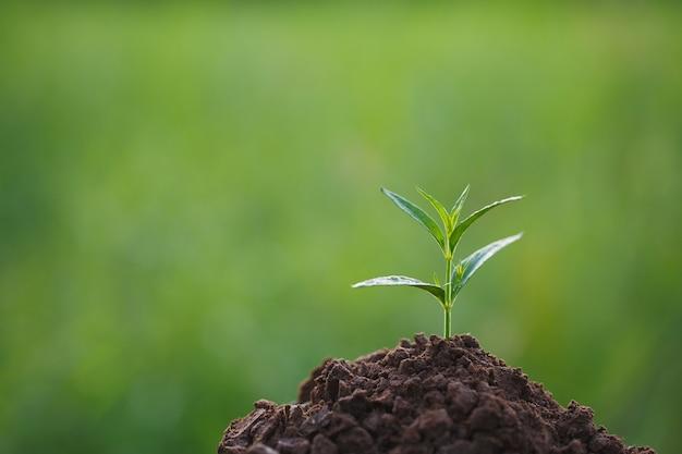 Młoda roślina zielna andrographis paniculata rośnie na zielonym tle