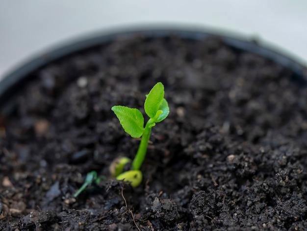 Młoda sadzonka drzewa cytrynowego