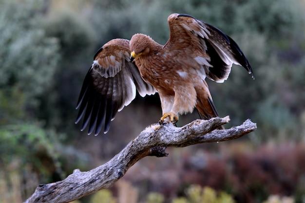 Młoda samica hiszpańskiego orła cesarskiego z pierwszymi światłami przed wschodem słońca, aquila adalberti