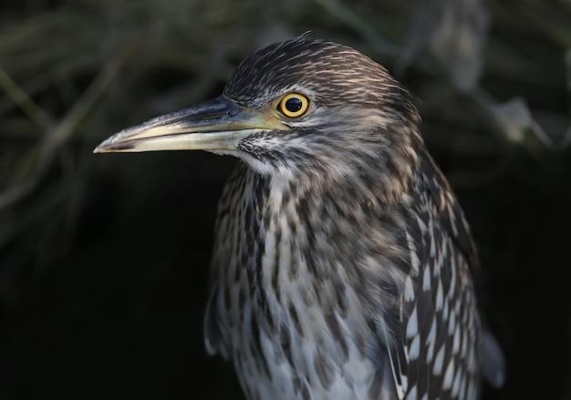 Młoda ślepowron zwyczajny (nycticorax nycticorax) jest bardzo blisko z bliskiej odległości. znaki identyfikacyjne i szczegóły upierzenia ptaka są wyraźnie widoczne.