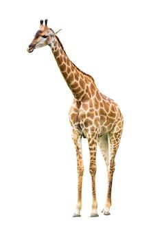 Młoda śliczna żyrafa na białym tle