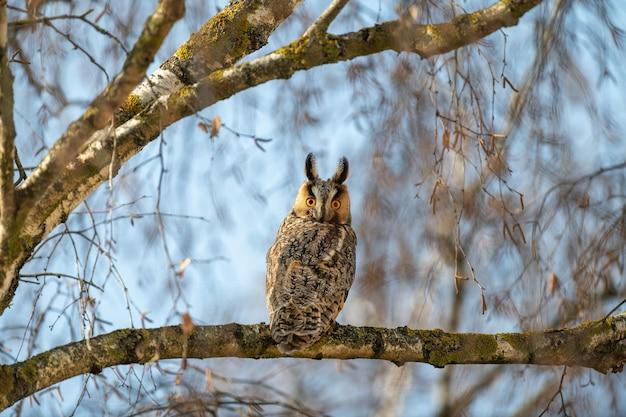 Młoda sowa siedzi na drzewie i patrzy w kamerę
