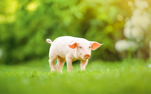 Młoda świnia chodzi po zielonej trawie. szczęśliwy prosiaczek na łące, letni dzień.