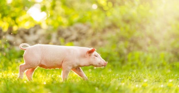 Młoda świnia chodzi po zielonej trawie. szczęśliwy prosiaczek na łące.