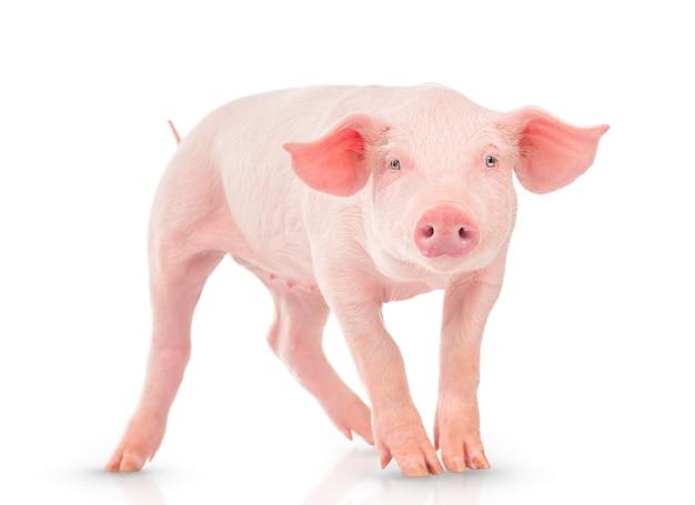 Młoda świnia na białym tle.