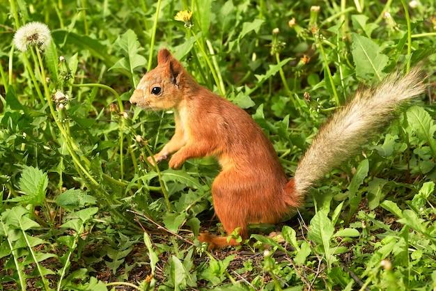 Młoda wiewiórka siedzi na ziemi w profilu futrzane futro czarne oczy ogon na zielonym tle
