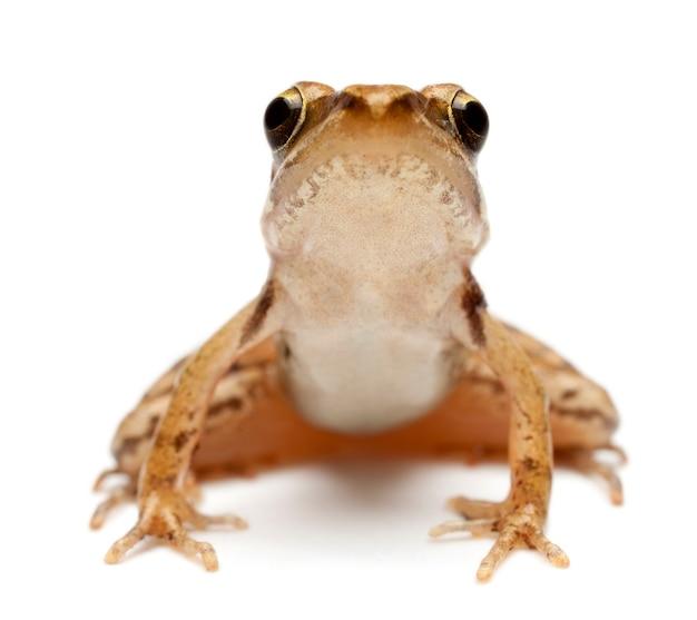 Młoda żaba trawna, rana temporaria, przed białym tłem