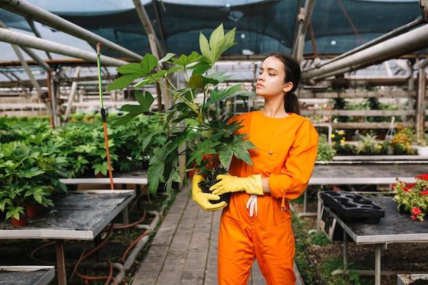 Młoda żeńska ogrodniczka patrzeje doniczkowej rośliny w szklarni