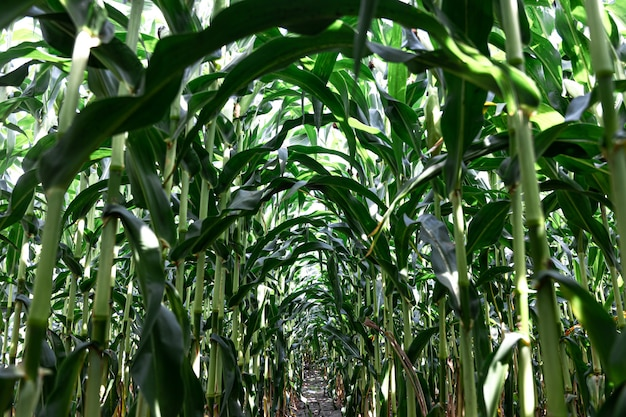 Młoda zielona kukurydza rosnąca na tle pola