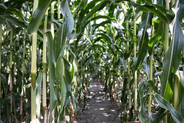 Młoda zielona kukurydza rośnie na polu, tło. tekstury z młodych roślin kukurydzy, zielone tło.