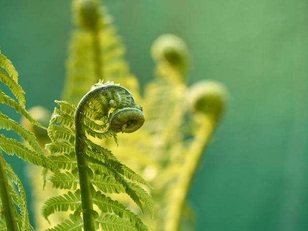 Młoda zielona paproć w lesie