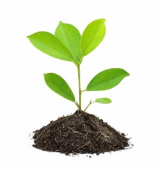 Młoda zielona roślina i ziemia odizolowywający na bielu
