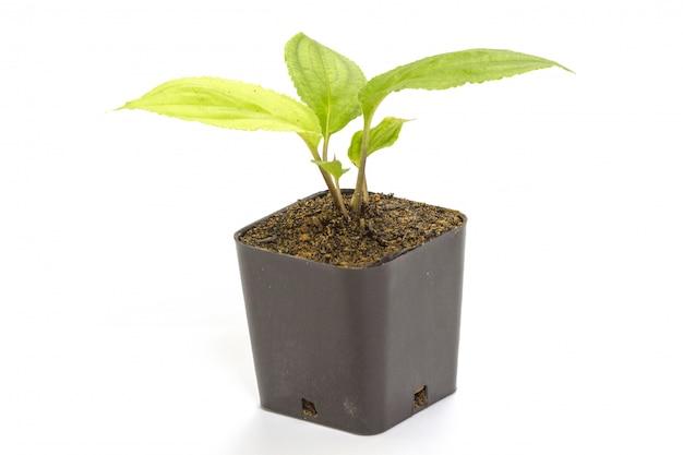Młoda zielona rozsady passiflora roślina w glinianym flowerpot