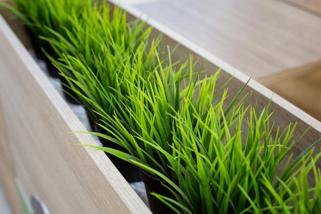 Młoda zielona trawa kiełkuje w garnkach w supermarkecie. zielone rogi w sklepie, doniczki z zieloną trawą