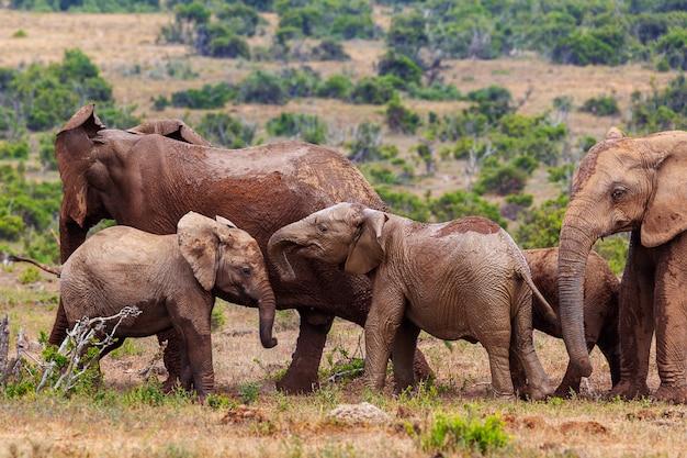 Młode afrykańskie słonie bawić się w addo parku narodowym w południowa afryka