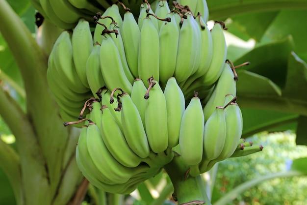 Młode banany z natury