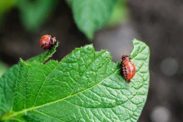 Młode chrząszcze colorado jedzą liść ziemniaka