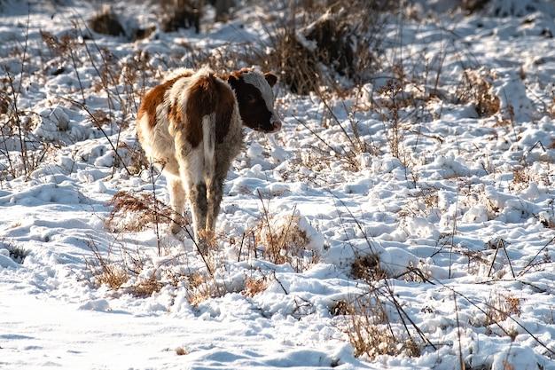 Młode cielęta pasą się zimą na polu, szukając trawy pod śniegiem