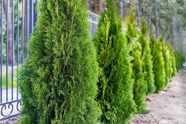 Młode drzewa tuya posadzone wzdłuż metalowego ogrodzenia. selektywne skupienie.