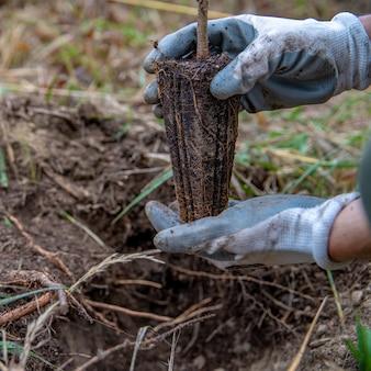 Młode drzewa z przyprawami do odnowienia lasu
