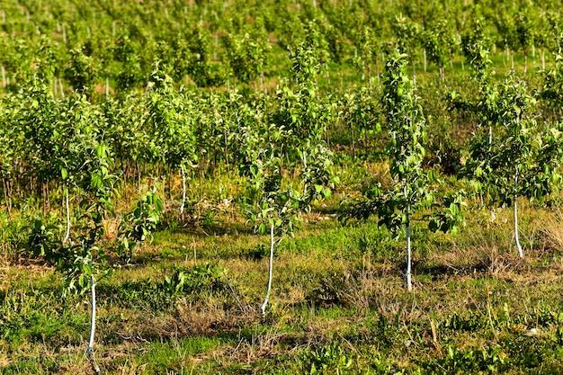 Młode drzewka owocowe sfotografowane wiosną w sadzie