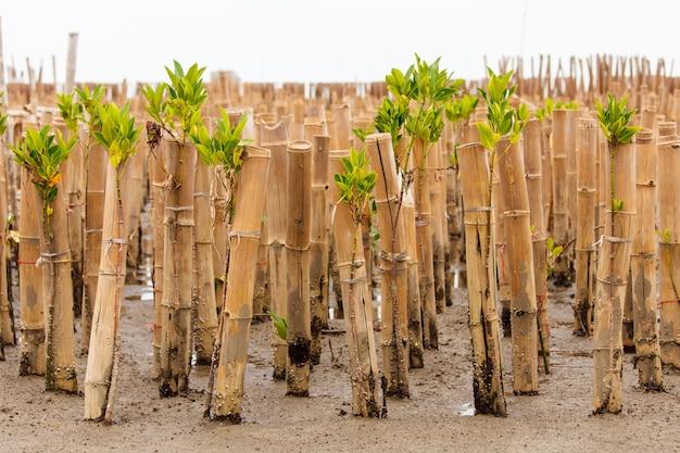 Młode drzewo namorzynowe w trakcie ponownego zalesiania
