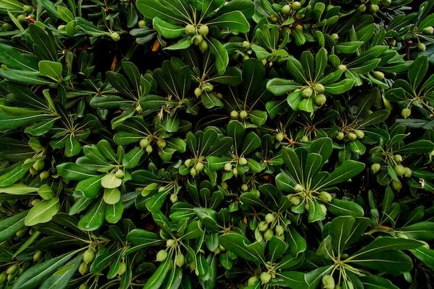 Młode drzewo oliwne. młoda oliwka na gałęzi