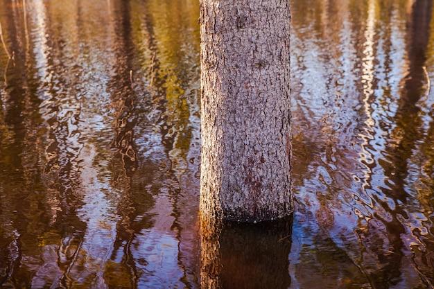 Młode drzewo w centrum dużej kałuży, zalany obszar