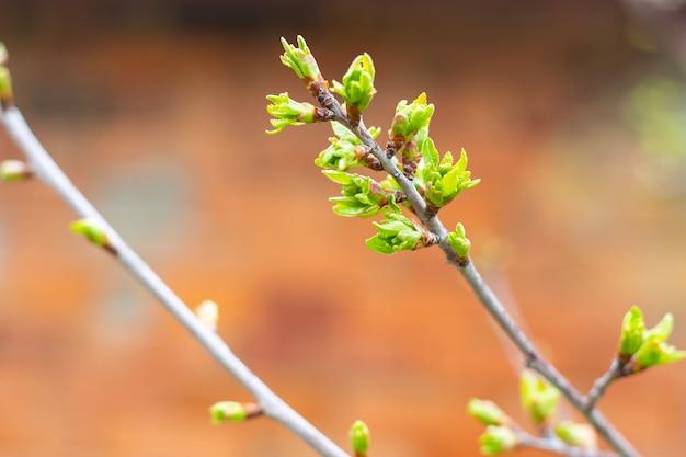 Młode gałązki wiśni z kwitnącymi zielonymi liśćmi