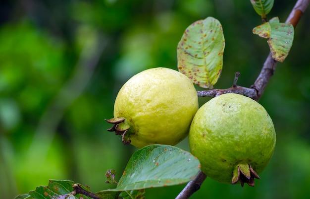 Młode i dojrzałe owoce guawy na drzewie