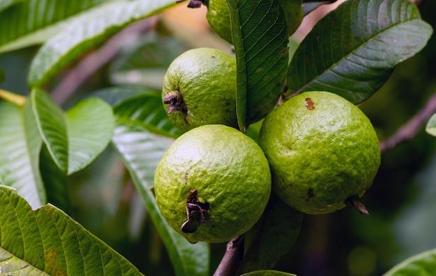 Młode i świeże owoce guawy na drzewie