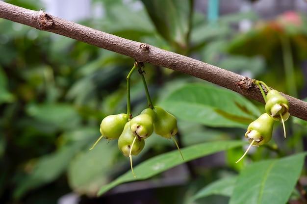 Młode jabłka podwodne owocują na jego drzewie, znane jako jabłka różane lub wodniste jabłka różane