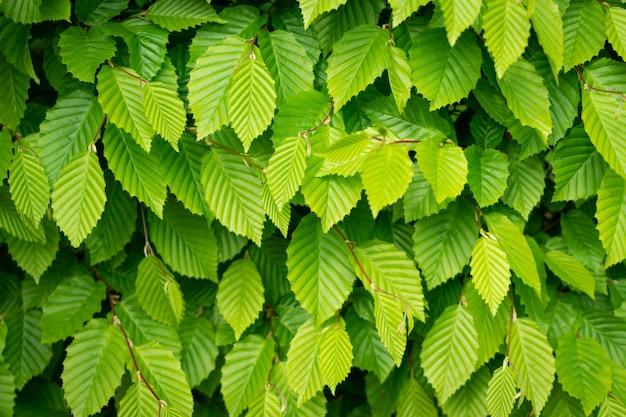 Młode jasnozielone liście drzew oświetlone przez słońce. piękne sunshine naturalne tło tekstury wiosny