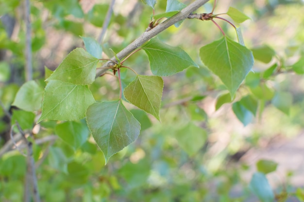 Młode jasnozielone liście oświetlone słońcem.