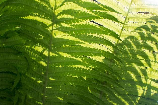 Młode jasnozielone liście paproci oświetlone przez słońce. piękne bujne naturalne tło wiosny