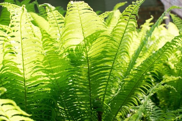 Młode jasnozielone liście paproci oświetlone przez słońce.