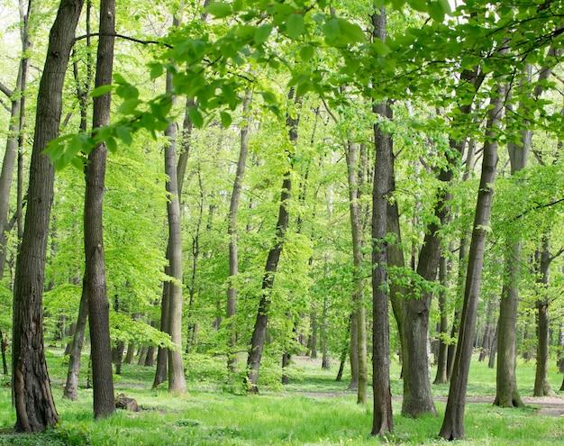 Młode jasnozielone wiosenne liście