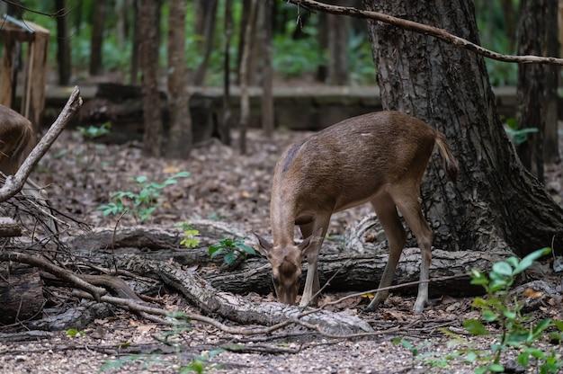 Młode jelenie szukają pożywienia w naturze.