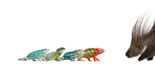 Młode kameleony, furcifer pardalis i ankify idą ku sobie na białym na białym tle