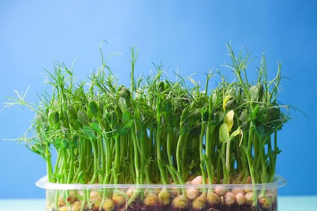 Młode kiełki grochu warzywnego, mikrogozielone. uprawiane organiczne mikro kiełki