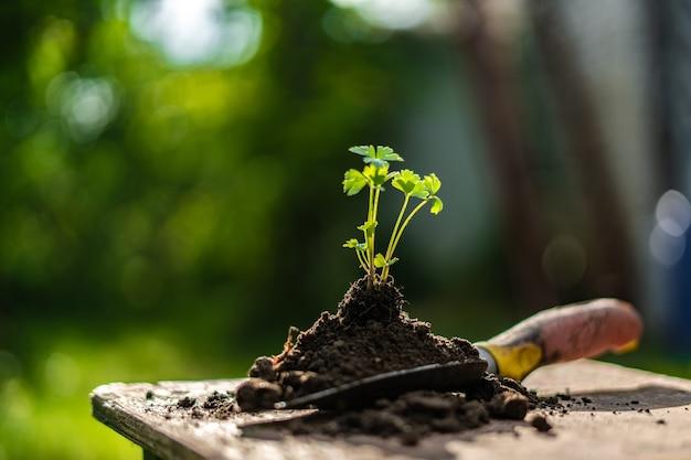 Młode kiełki w glebie na szufelce na ziemi w gospodarstwie
