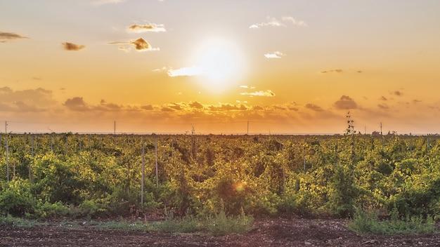 Młode krzewy winorośli w winnicy w promieniach zachodzącego słońca wiosną uprawa winorośli