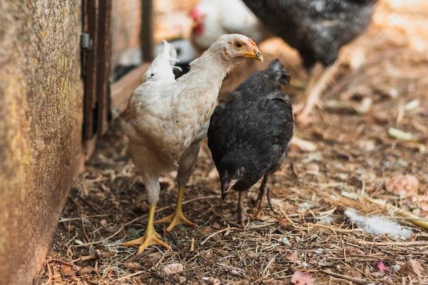 Młode kury szukają pożywienia w zagrodzie