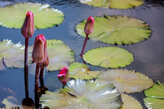 Młode kwiaty głowy młodej lilii wodnej w stawie
