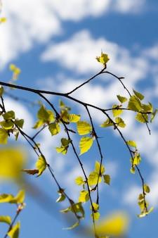 Młode liście i kwiaty klonów w okresie wiosennym, słoneczna pogoda, bezchmurna pogoda, trochę zachmurzenie