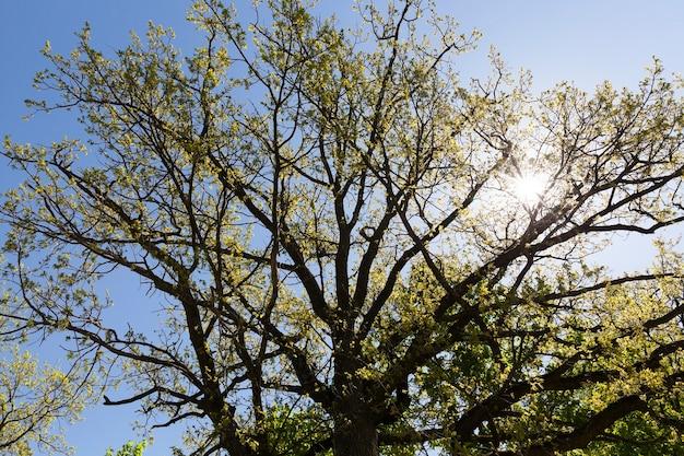 Młode liście na drzewie wiosną, początek ocieplenia