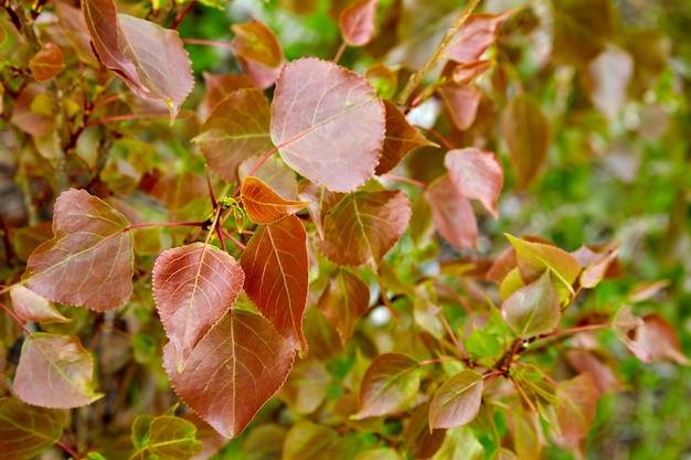 Młode liście topoli o czerwonym odcieniu w wiosennym lesie. czerwony liść